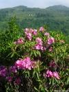 Rhododendron by bigcranky in Views in Virginia & West Virginia