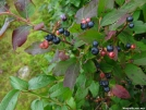 Blueberries!! by bigcranky in Views in Virginia & West Virginia