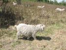 Roan Highlands Goats