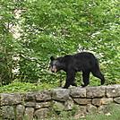 Skyline Dr - Shenandoah NP by jbwood5 in Bears
