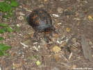 Box turtle on AT above Blackburn by StarLyte in Trail & Blazes in Virginia & West Virginia