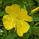 Sundrops by fudgefoot in Flowers