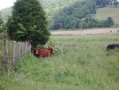 Cow in VA farmland by mountaineer in Other