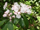 Mountain Laurel by mountaineer in Flowers