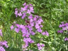 Purple flowers with bee by mountaineer in Flowers