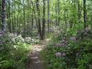 Rhodendren covered trail