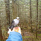 Canadian Jay by wormer in Other Galleries