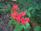 Flame Azaleas by Sierra Echo in Flowers