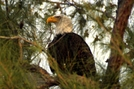 Bald Eagle by Ramble~On in Birds