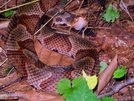 Copperhead by Ramble~On in Snakes