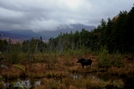 Moose looking at Katahdin