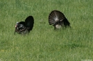 3 Turkey (look close)
