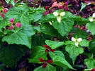 Trillium by Ramble~On in Flowers