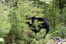 Black Bear by Ramble~On in Bears