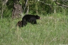 Smoky Mountain Bear with cub by Ramble~On in Bears