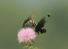 Rush hour at the thistle by Ramble~On in Flowers