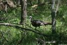 Wild Turkey by Ramble~On in Birds