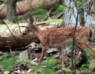 Spotted Fawn by Ramble~On in Deer