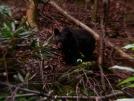 GSMNP Black Bear by Ramble~On in Bears