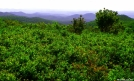 Blueberry bushes on the Art Loeb Trail by Ramble~On in Other Trails