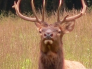 GSMNP Elk