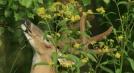 Tree pruning by Ramble~On in Deer