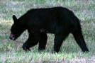 Scrawny Momma Bear by Ramble~On in Bears