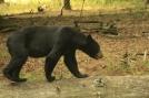 Bear on Log by Ramble~On in Bears