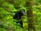 Low Gap Trail Black Bear by Ramble~On in Bears