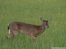 Whitetail in Cade's Cove by Ramble~On in Deer
