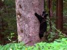 Tree Hugger by Ramble~On in Bears