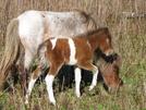 Highland Ponies by Ramble~On in Views in Virginia & West Virginia