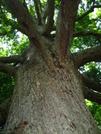 Keefer Oak