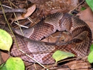 Copperhead Near James River Bridge by Ramble~On in Snakes
