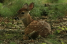 Deer Fawn by Ramble~On in Deer