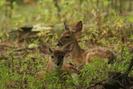 Twin Deer Fawns by Ramble~On in Deer