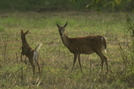 Doe and a fawn by Ramble~On in Deer
