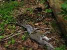 Timber Rattlesnake Eats Squirrel