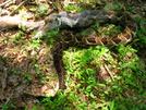 Rattlesnake eats squirrel