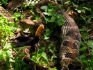 Timber Rattlesnake by Ramble~On in Snakes