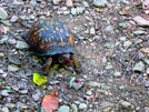 Turtles Like Raspberries Too by Ramble~On in Other
