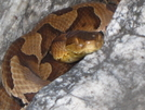 Copperhead At Pulpit Rock by Ramble~On in Snakes