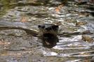 Otter in GSMNP