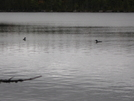 Loons by Ramble~On in Birds