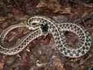 Fiesty Garter by Ramble~On in Snakes