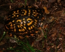 Turtle by Ramble~On in Section Hikers