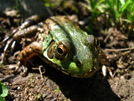 Sage's Ravine Frog by Ramble~On in Other