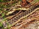 Two Garter Snakes