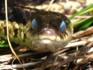 Blue Eyed Snake by Ramble~On in Snakes