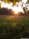 Sunset over a cornfield